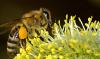 Apitherapie – Die Heilwerte aus dem Bienenvolk