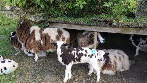 Sarah Bliss - Ewes and Lambs