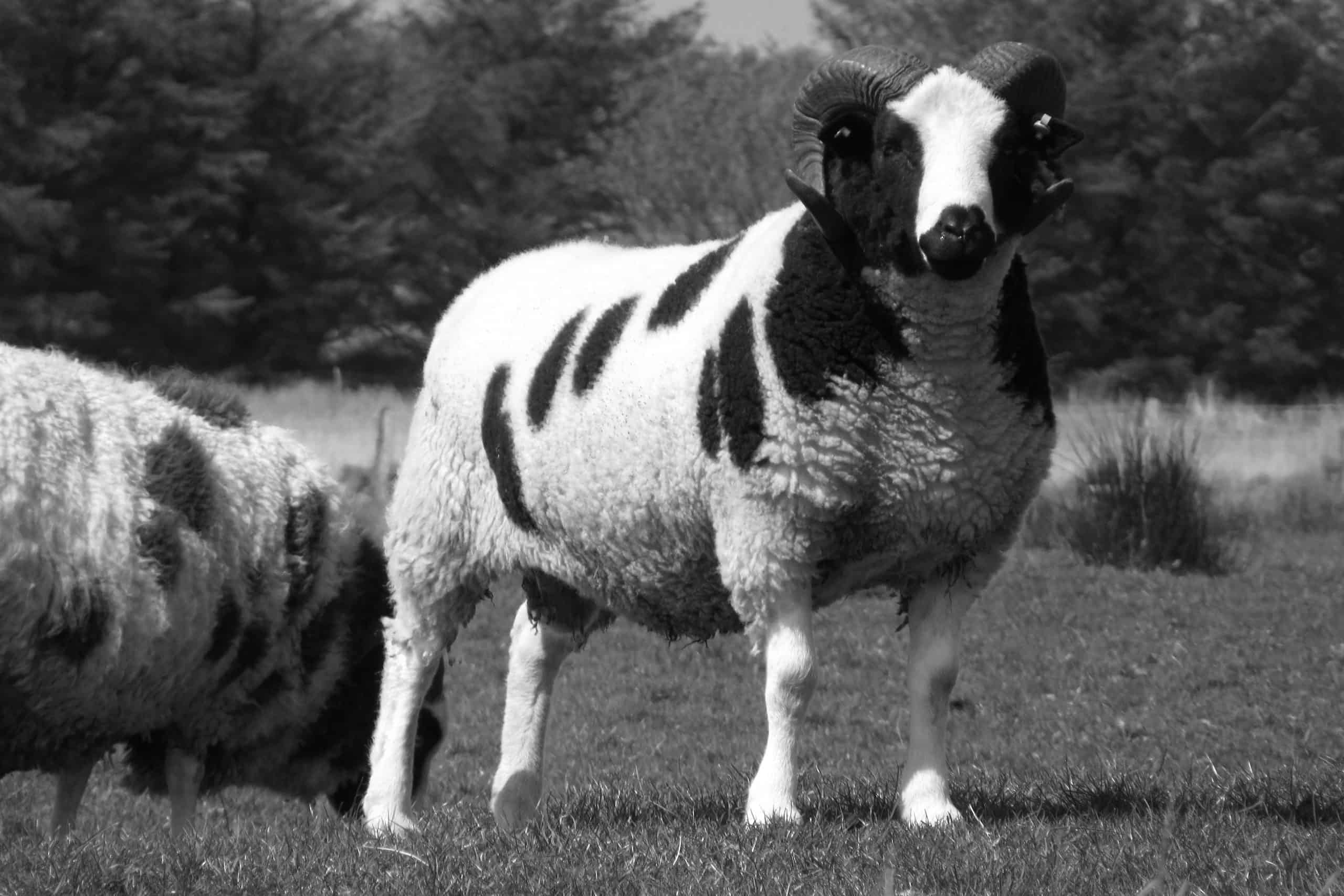 BW Liam King of the Flock