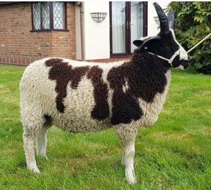 Lesley Partridge - Ram Lamb