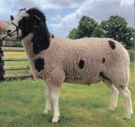 Trumper Family - Reserve Champion Ewe