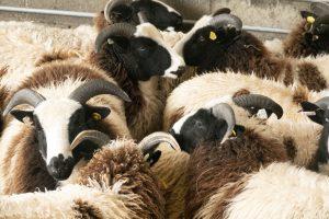 open day ewe lambs in full fleece