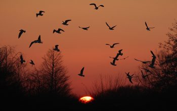 SLIMBRIDGE, ENGLAND - JANUARY 16: Birds fly at sunset at the WWT Slimbridge Wetland Centre on January 16, 2012 in Slimbridge, England. Slimbridge Wildfowl and Wetlands Trust (WWT) in Gloucestershire are expecting the recent cold snap to bring a late influx of wintering birds onto its reserves encouraged by the drop of temperatures to complete the last leg of their migration over to the UK. The unseasonable weather has led to lower numbers of swans, geese and ducks, arriving at the sanctuary because they have managed to remain further north thanks to the mild weather conditions throughout western Europe. It has also led to large flocks of waders choosing to stay in bigger numbers than in the recent colder winters (Photo by Matt Cardy/Getty Images)