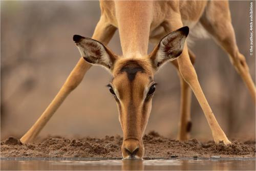 FIAP Silver-Impala Drinking-Francois Van Der Watt-South Africa