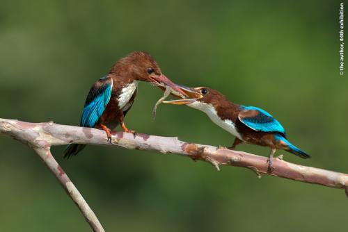 MCPF Ribbon-Feeding the Chick 4-Graeme Guy EPSA-Malaysia