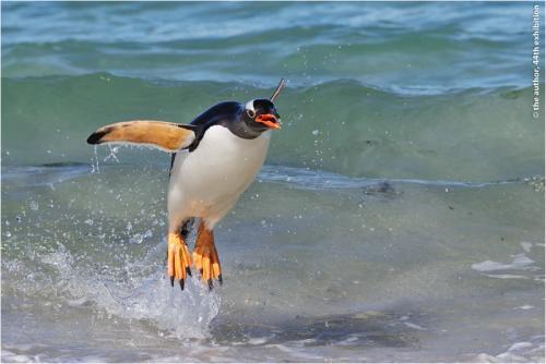 MCPF Ribbon-Gentoo Penguin Leaps from the Sea-Dawn Osborn FRPS EFIAP DPAGB BPE5-England