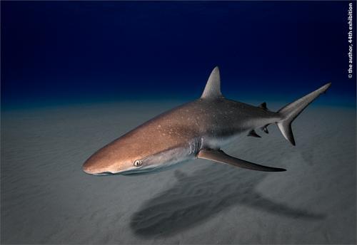 PSA Gold-Caribbean Reef Shark, Atlantic Ocean-David Keep LRPS BPE4 CPAGB-England