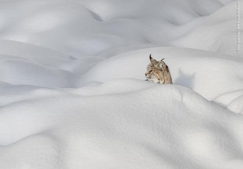 PSA Ribbon-Bobcat in Snow, Yellowstone-Rosemary Wilman HonFRPS AFIAP BPE5 APAGB-England