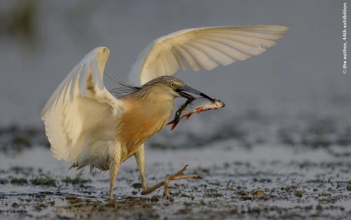PSA Ribbon-Squacco Heron with Catch-Tim Downton ARPS DPAGB-England