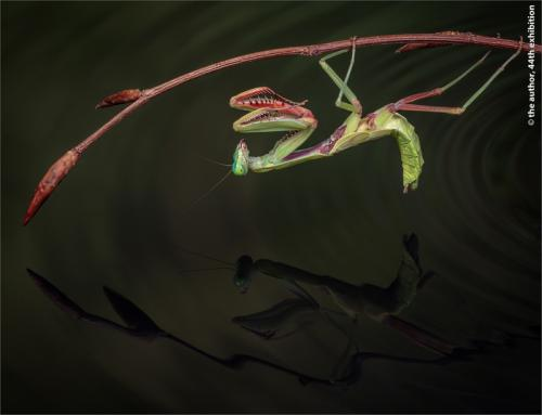 UPI Ribbon-Giant Rainforest Mantis-David Keep LRPS BPE4 CPAGB-England