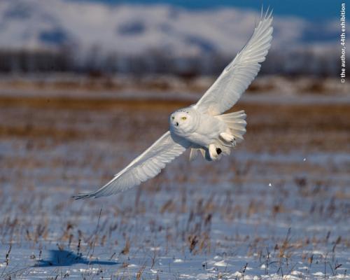 Chang Ming-Chih Snowy Owl 2