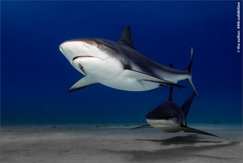 GOLD Keep David Rolls-Royce (Derby) PS Patrolling Reef Sharks Bahamas 170