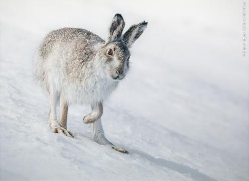 GPU Silver Cairngorm Mountain Hare Ian Mitchell