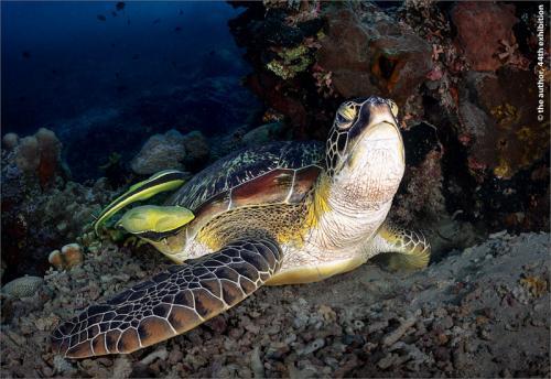 PR PNAT Keep David Rolls-Royce (Derby) PS Green Turtle With Attending Remora Sucker Fish 168