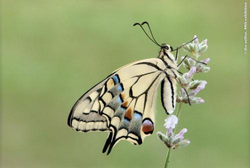 PS Gold Swallowtail on  Lavender  Yealand Kalfayan