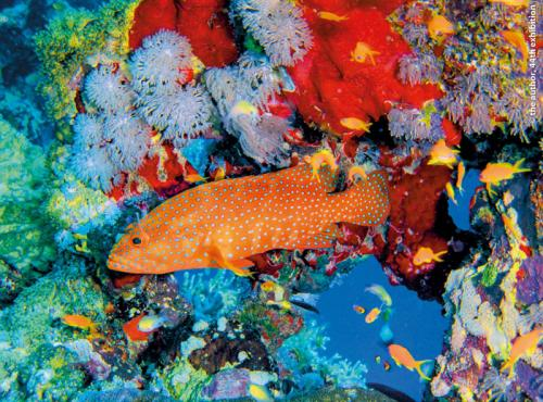 SPS Ribbon Coral Grouper