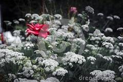 eine-einzelne-rote-rose-119268548