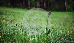 gebrannte-orchidee-auf-einer-wiese-116112783