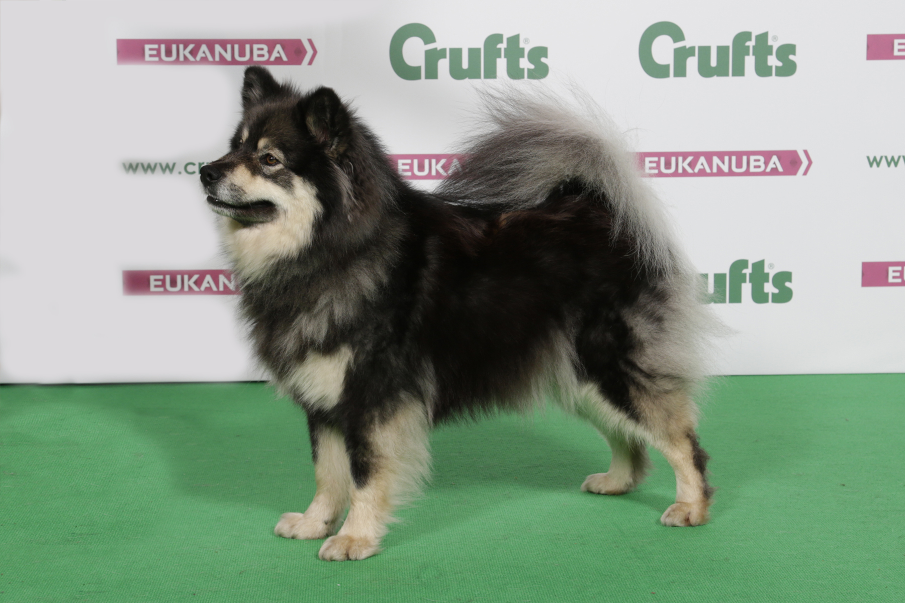 Elbereth Pelinainen JW Crufts BOB - photo by Ruth Dalrymple/ The Kennel Club ©