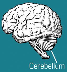 Ataxie_cerebellum-278x300 Ataxie van Friedreich, SCA en andere ataxieën