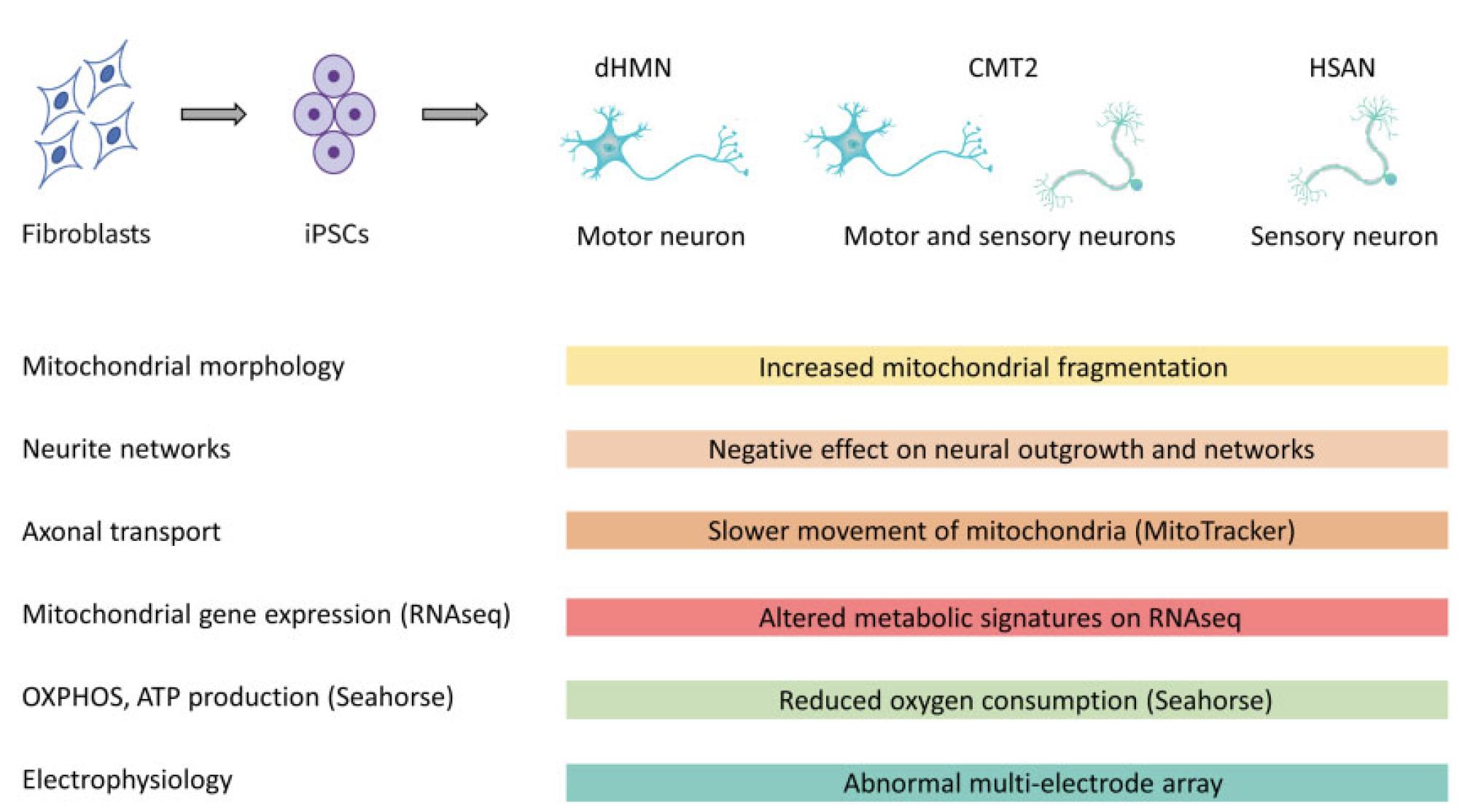 Figuur 1 IPSC-afgeleide humane neuronen in patiënten met verschillende genetische vormen van CMT2, dHMN en HSAN belemmeren de functie van motorische en/of sensorische neuronen door het veranderen van gemeenschappelijke routes, zoals mitochondriale fragmentatie, neuriet uitgroei, bewegingen van mitochondriën langs axonen, cellulaire metabolisme, zuurstofverbruik en elektrofysiologische kenmerken.