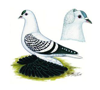Sächsische Flügeltauben