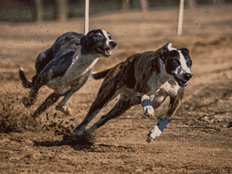 Irish Greyhound Racing Set For Betting Broadcast Surge