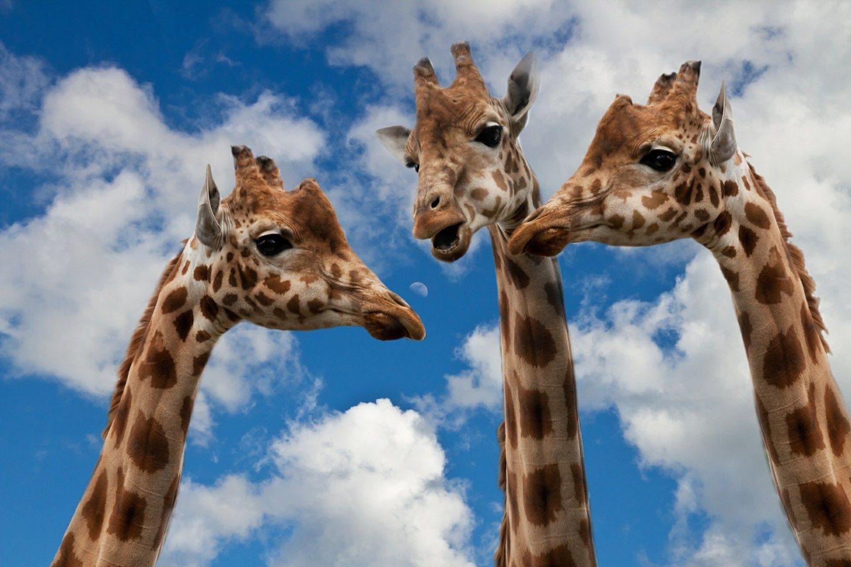 Feedback of the giraffes