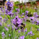 bijen in tuin