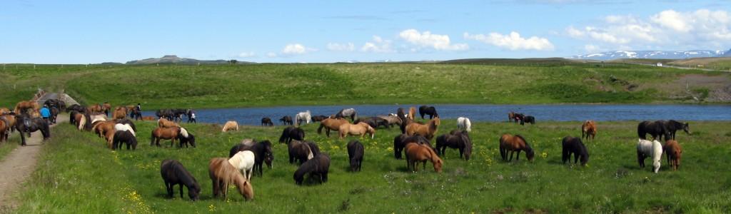 Ridning på Island