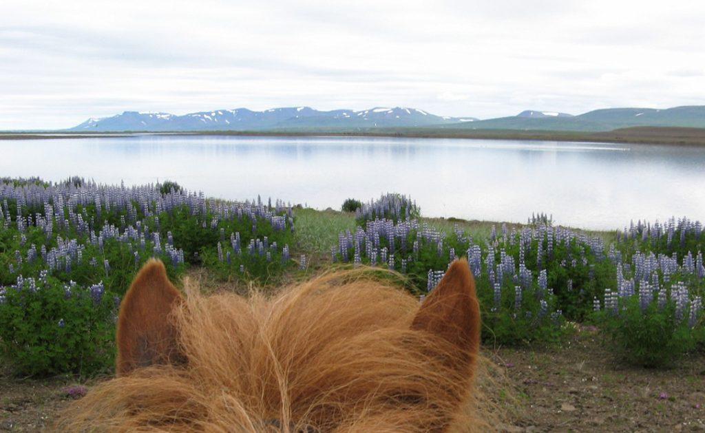 Ridning på Island med lupiner