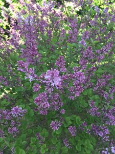 LILACS in the spring.