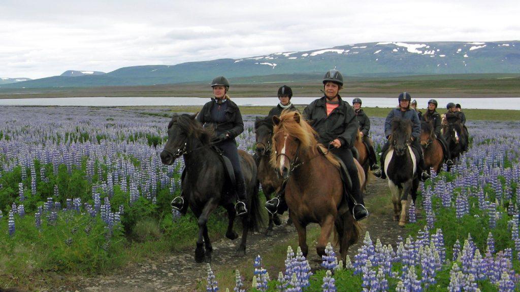 Auf Pferde durch die Lupinen im Juni 2014.