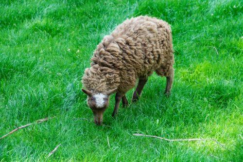 Studde Schaf