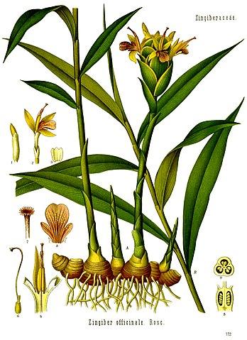 Ingefærplante