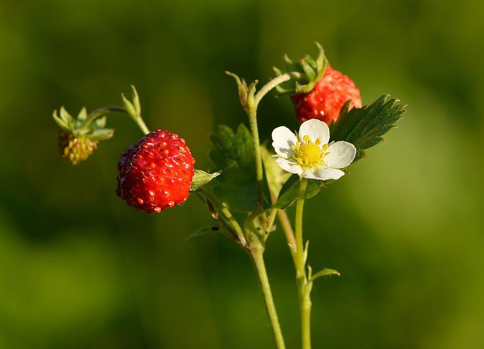 Skovjordbær med bær