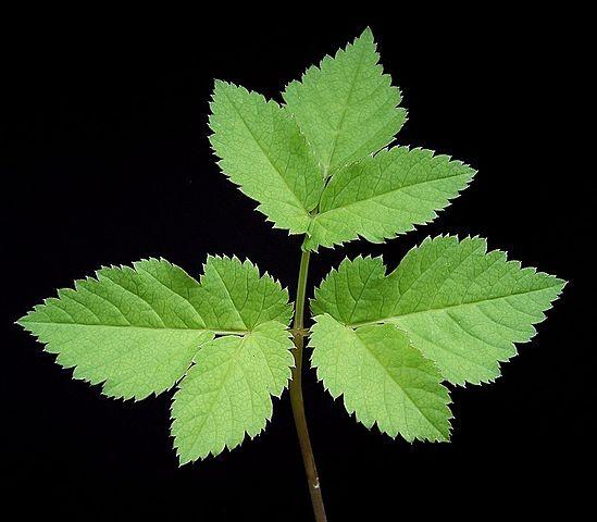 Skvalderkål-blad
