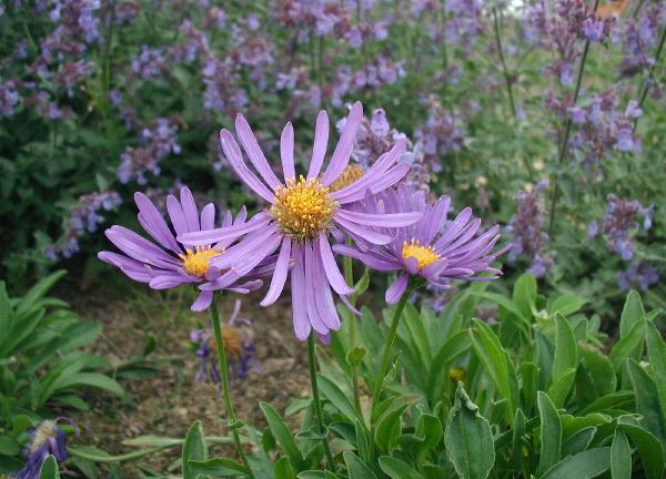Alpe-asters