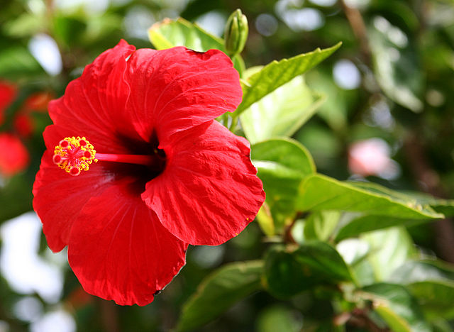 Hibiscus / Hawaiiblomst