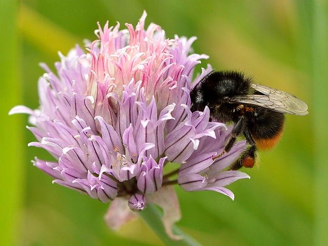 Purløg i blomst