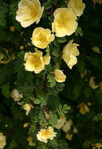 Hugos rose