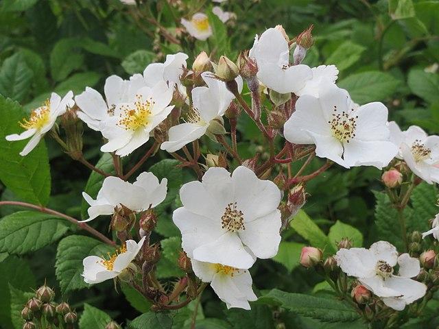 Mangeblomstret rose