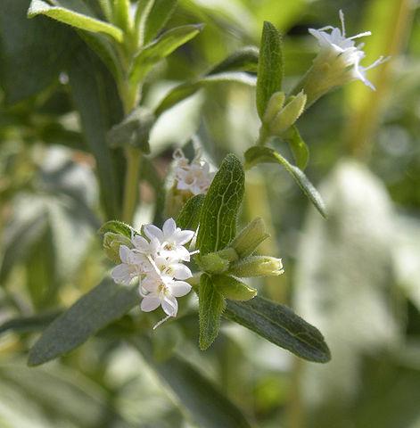 Stevia blomst