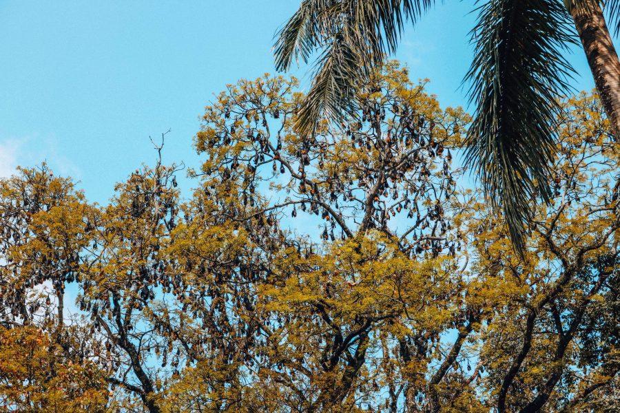 Fruit Vleermuizen