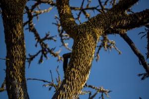 Desert locusts cover a tree in Bilayolo village