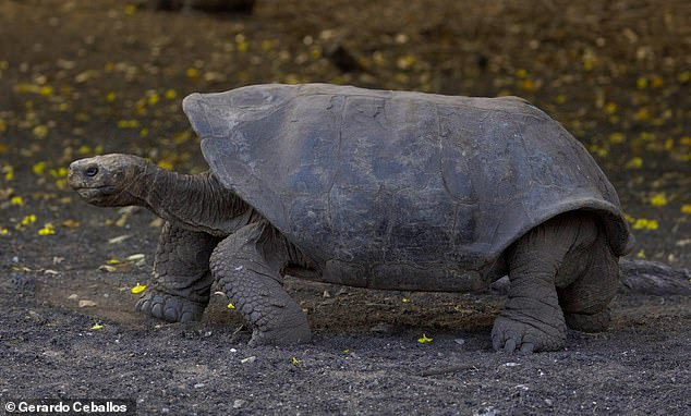 The Española Giant Tortoise (Chelonoidis hoodensis), a species endemic to the Galapagos island, is threatened by introduced species. Recent conservation efforts have increased the number of tortoises, but only about 200 remain