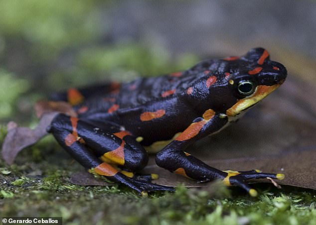 The variable harlequin frog (Atelopus varius) was widespread in Costa Rica and Panama until an introduced fungus from Asia decimated its populations