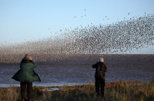 Knots, oystercatchers and pink-footed geese are among the thousands of birds arriving at Snettisham to feed on the abundance of food on the mudflats.