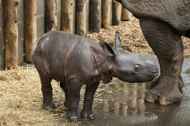 The baby Indian rhino in the safari park