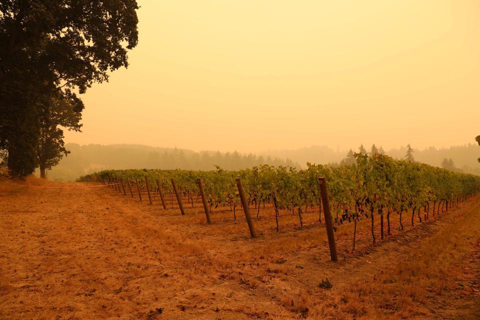 Despite Unprecedented Fires Oregon's Wine Industry Stays On Track for An Epic 2020 VintageUS-FIRES
